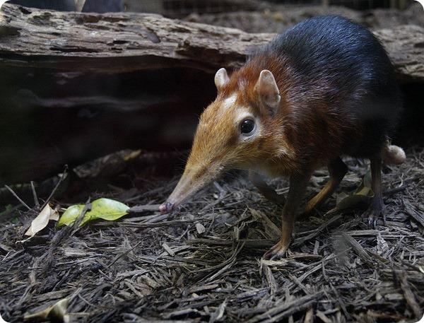 Хоботковая собачка Петерса (лат. Rhynchocyon petersi)