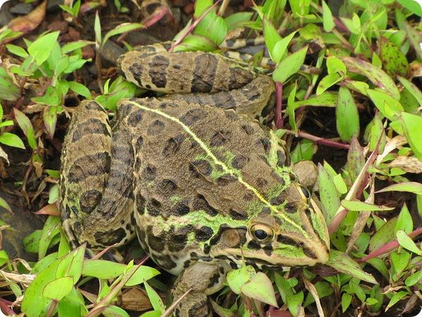 Тигровая индийская лягушка (лат. Hoplobatrachus tigerinus)