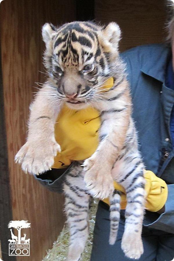Суматранский тигренок из Сан-Франциско