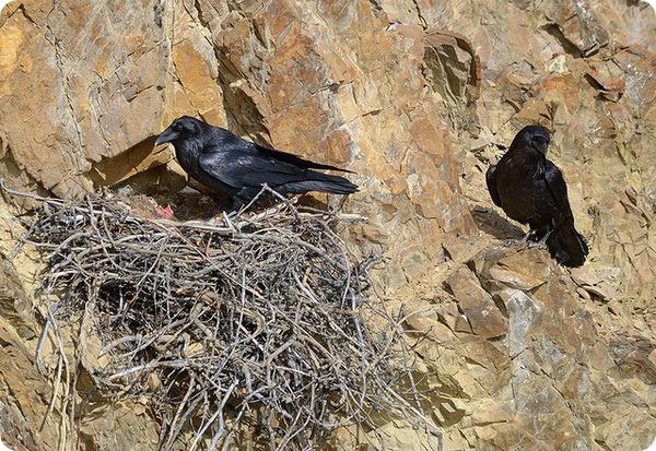 Ворон (лат. Corvus corax)
