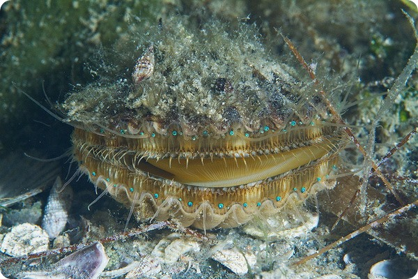 Бухтовый гребешок (лат. Argopecten irradians)