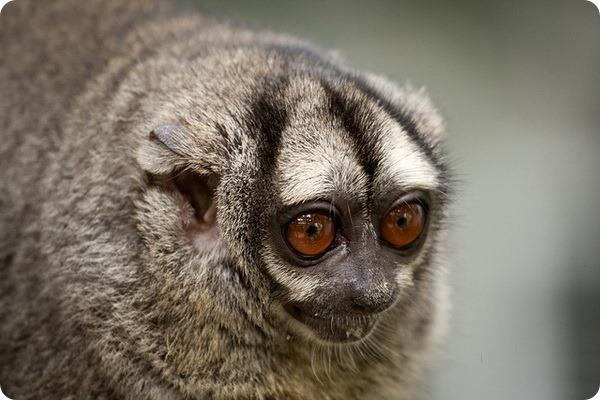 Мирикина или трехполосый дурукуль (лат. Aotus trivirgatus)