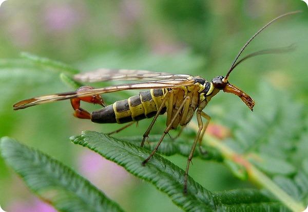Скорпионовая муха (лат. Panorpa communis)