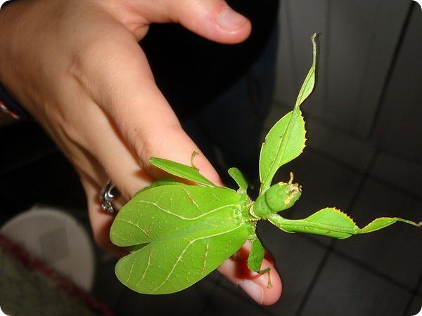 Листотел или листовидка (лат. Phylliidae)
