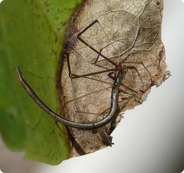 Паук-хлыстовик (лат. Argyrodes colubrinus)