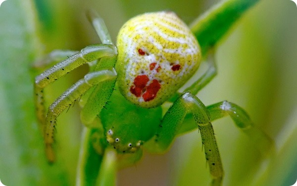 clown-face-spider003.jpg