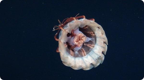Удивительная встреча с необычной медузой