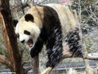 Холодный душ для панды