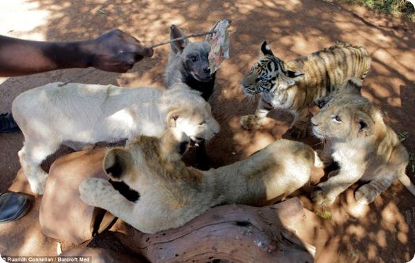 Необычная дружба между львятами, тигрёнком и гиеной