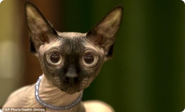 Международный конкурс кошачьей красоты в Бухаресте