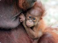Детеныш орангутанга из Gladys Porter Zoo