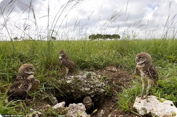 Любопытные роющие совы