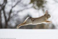 Изящное бегство зайца