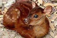 Оленёнок из Gladys Porter Zoo