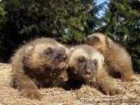 Шведский зоопарк представил своих росомах