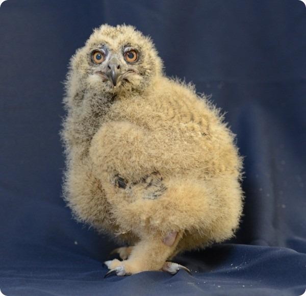 Маленький филиненок из National Aviary