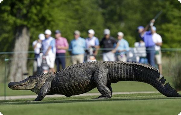 Аллигатор на гольфе