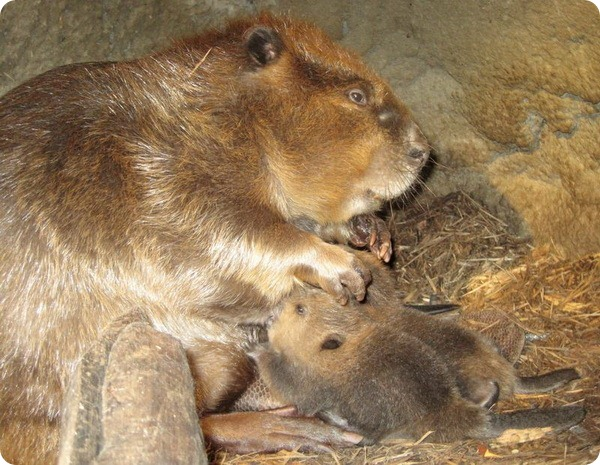Бобрята из Jackson Zoo