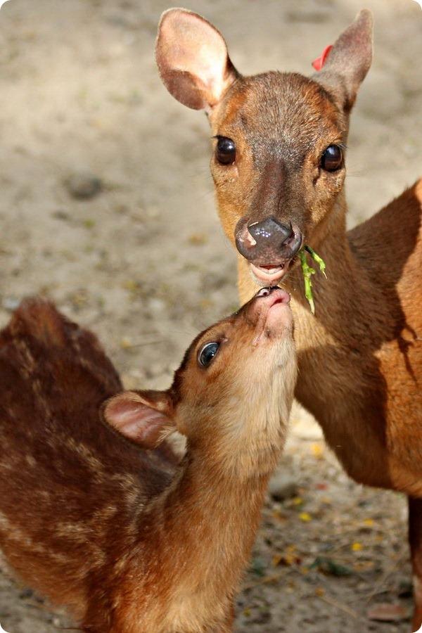 Детеныш благородного оленя из Gladys Porter Zoo