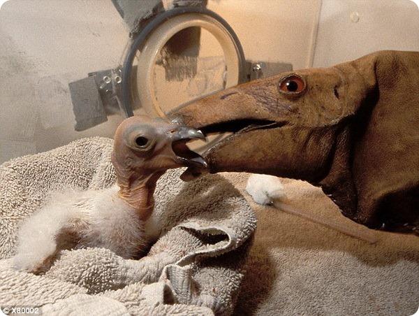 Зоопарк Сан-Диего растит юного кондора