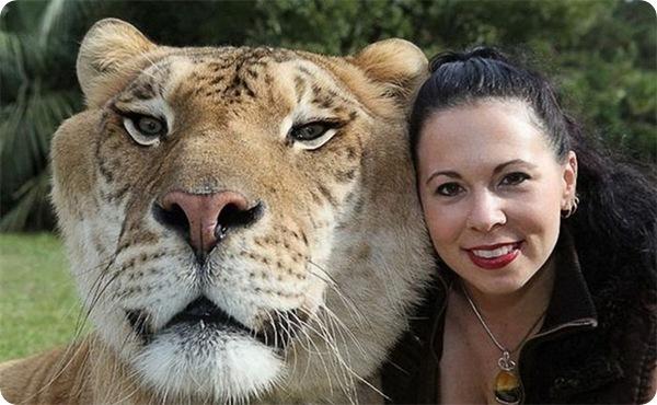 Лигр Геркулес - самая большая кошка в мире!