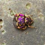 Золотые пауки-скакуны Simaetha