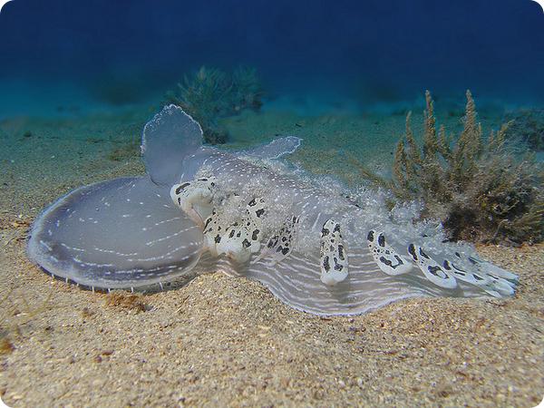 Тетис (лат. Tethys fimbria)