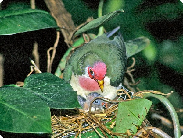 Розовоголовый пестрый голубь (лат. Ptilinopus jambu)