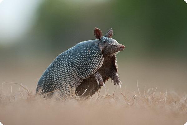 Девятипоясной броненосец (лат. Dasypus novemcinctus)