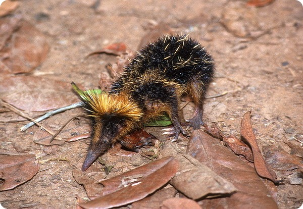 Полосатый тенрек (лат. Hemicentetes semispinosus)