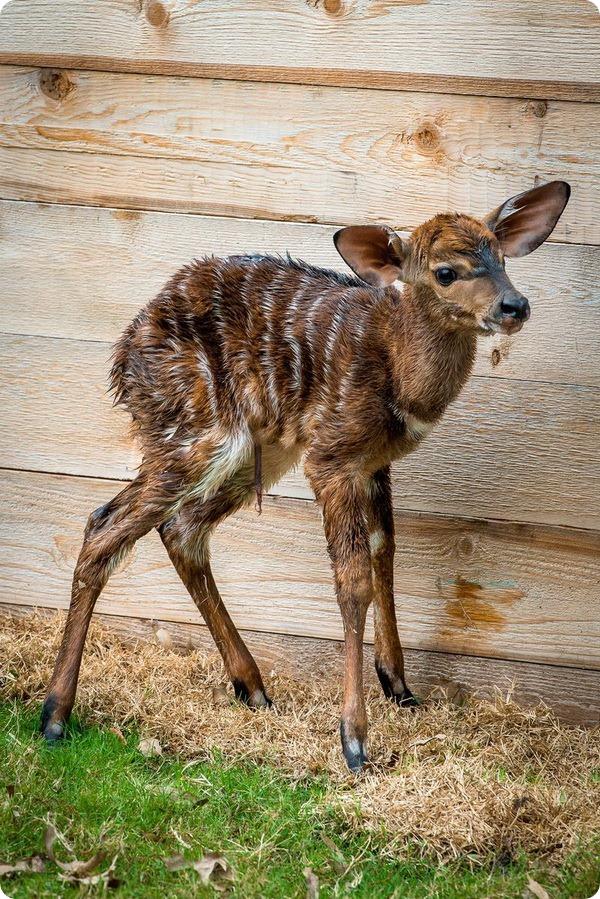 Детеныш ньялы из зоопарка Хьюстона