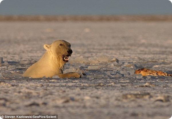 И белые медведи любят поиграть