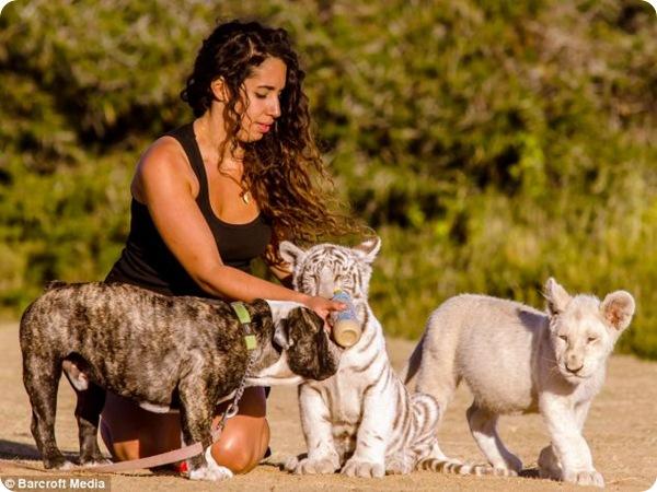 Удивительная дружба собаки, тигрёнка и львёнка