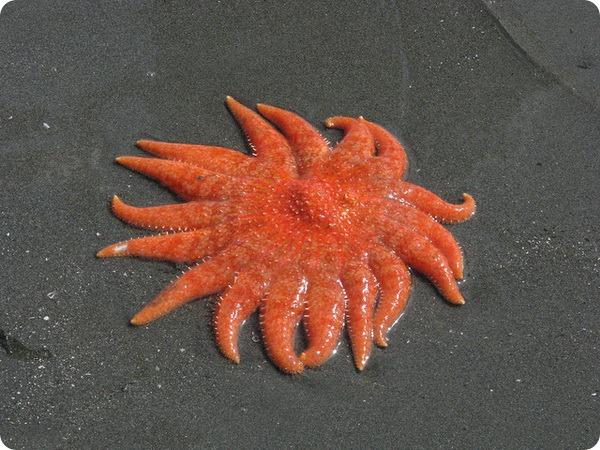 Морская звезда-подсолнух, или пикноподия (лат. Pycnopodia helianthoides)