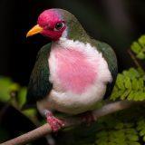 Розовоголовый пестрый голубь