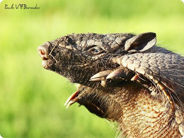 Шестипоясный броненосец (лат. Euphractus sexcinctus)