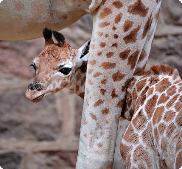 Жираф Ротшильда из зоопарка Честера