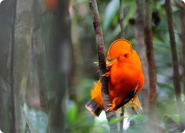 Гвианский скальный петушок (лат. Rupicola rupicola)