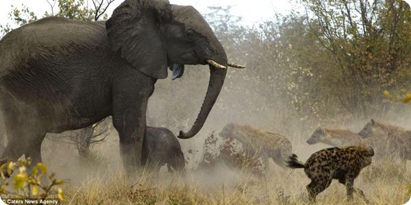 Противостояние слонов и гиен