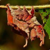 Гусеница букового вилохвоста