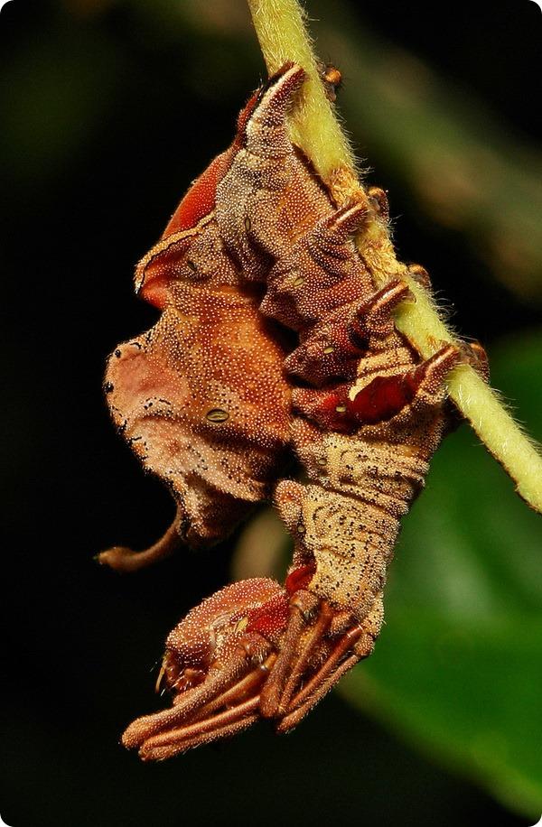 Гусеница букового вилохвоста (лат. Stauropus fagi)