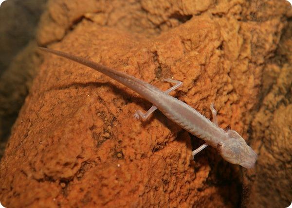 Техасская слепая саламандра (лат. Eurycea rathbuni)
