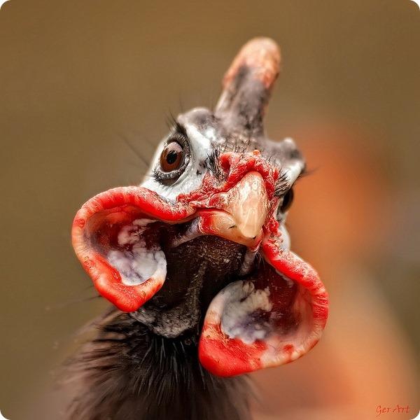 Обыкновенная цесарка (лат. Numida meleagris)