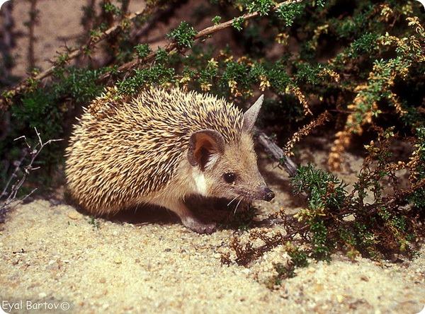 Ушастый или пустынный еж (лат. Hemiechinus auritus)