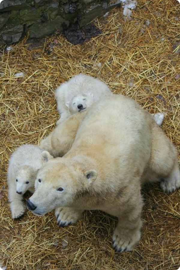 Белые медвежата из зоопарка Брно