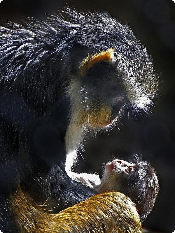 Мартышки Вольфа из зоопарка Сакраменто
