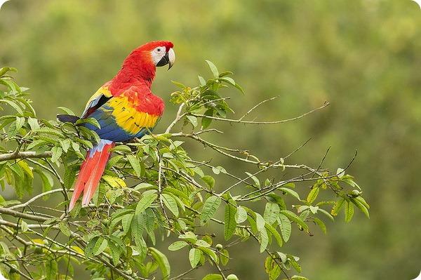 Красный ара (лат. Ara macao)