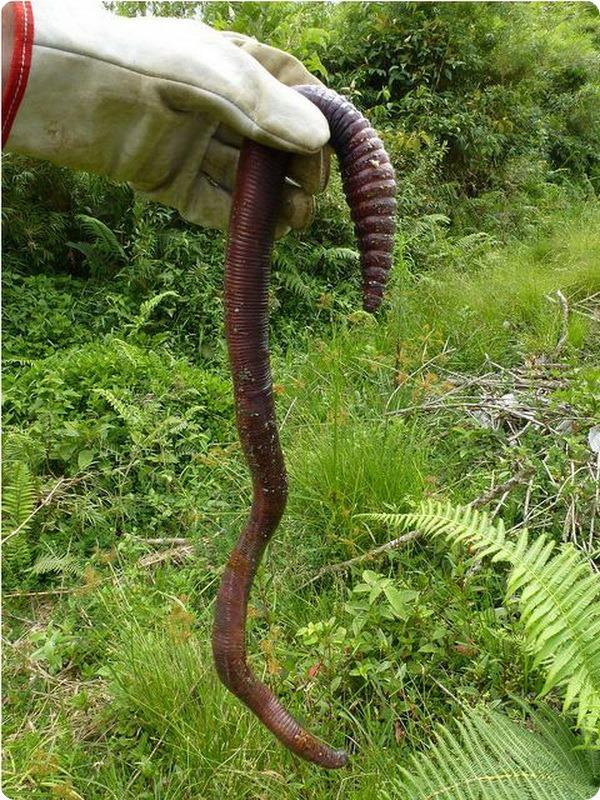 Австралийский гигантский дождевой червь (лат. Megascolides australis)