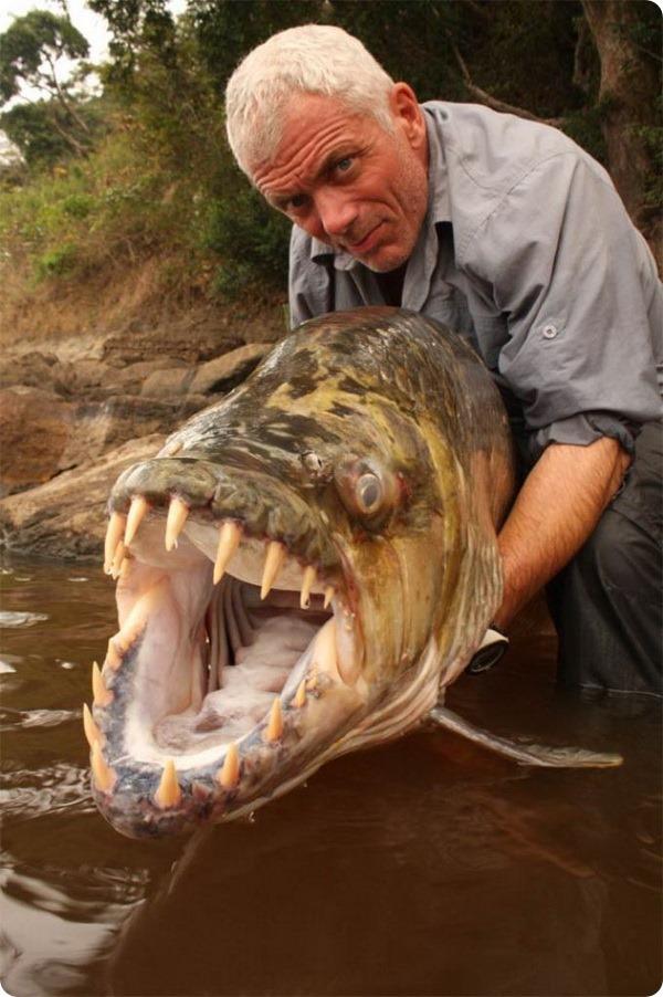 Большая тигровая рыба или гигантский гидроцин (лат. Hydrocynus goliath)
