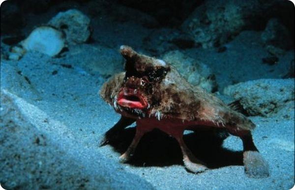 Морской нетопырь (лат. Ogcocephalus)